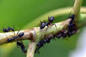 Une colonie de fourmis sur une branche. Photo: Pixabay.com